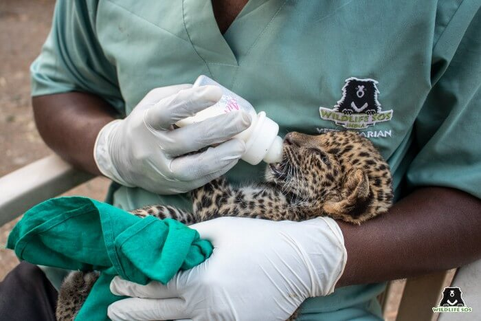 Our leopard care staff and veterinary team monitor their growth daily.