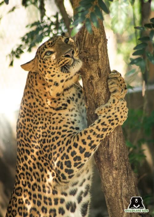 Shankar was orphaned as a cub as well and has been under our care since 2008.
