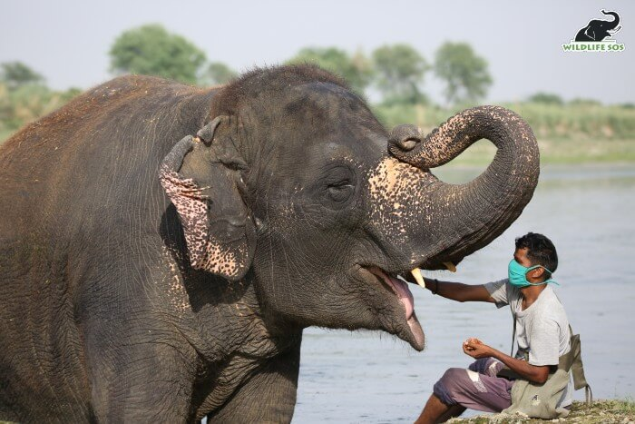 Laxmi also has tushes, seen here with her caregiver.