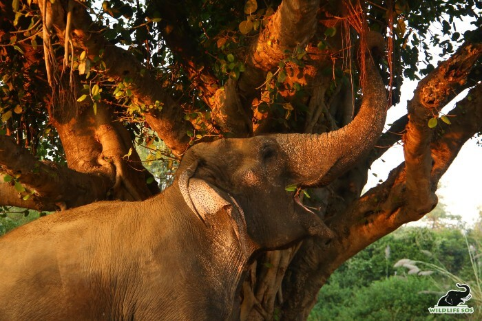Jasmine tugging at the branches of an old banyan tree!
