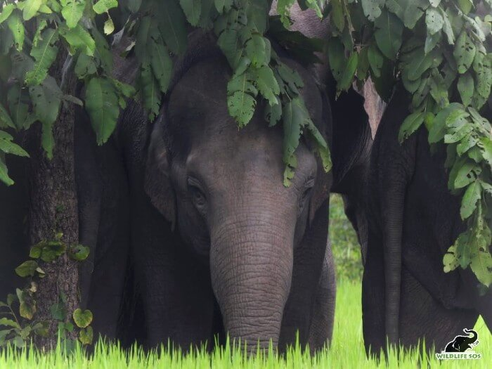 An elephant calf from the herd that Wildlife SOS has radio-collared in Chhattisgarh.