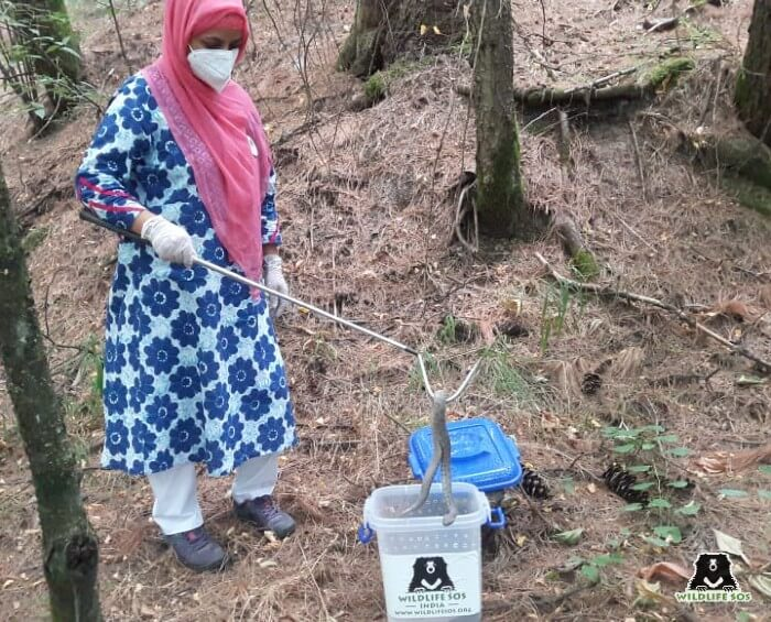 Ms. Aaliya Mir releasing a Levantine Viper back to the wild