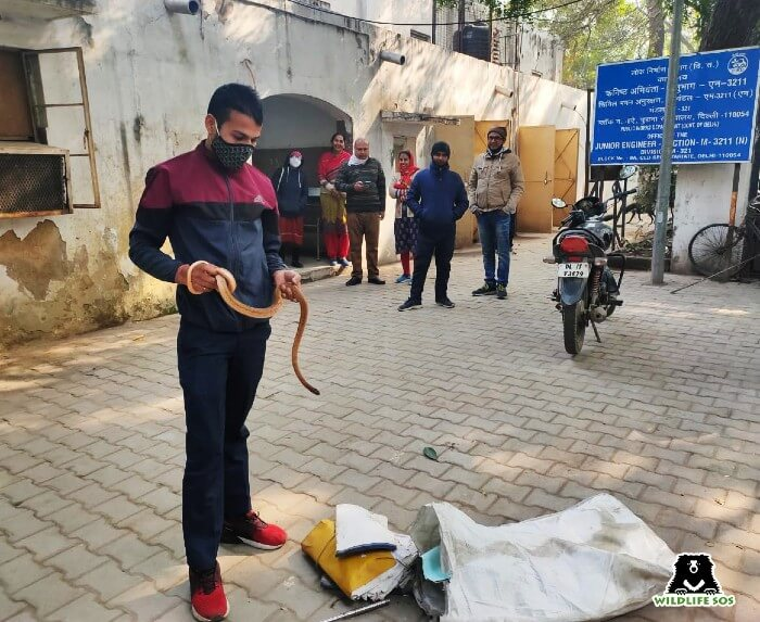 In the bone-biting Delhi winters, our rescue team rescued snakes from situations of distress.