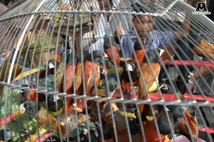 Birds suffer immensely under the garb of the illegal pet trade.