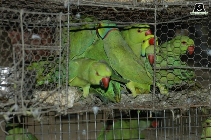 Parakeets suffer immensely in the illegal pet trade as well.
