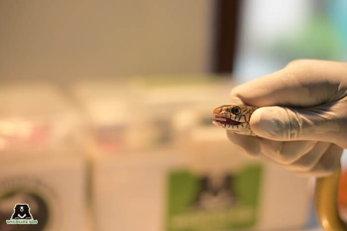 Slangen worden uitgedroogd om melk te consumeren die giftig voor hen is