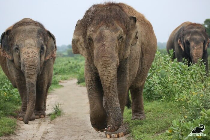 Chanchal leads the walks with Laxmi in the middle and Bijli trailing at the far end.